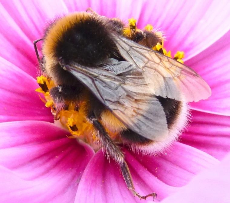 Comos & Bumblebee, Dorset