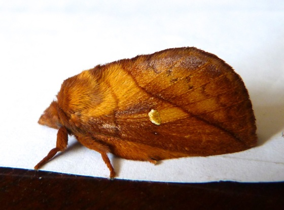 Drinker Moth Euthrix potatoria 1