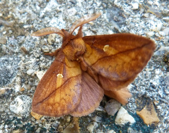 Drinker Moth Euthrix potatoria 7