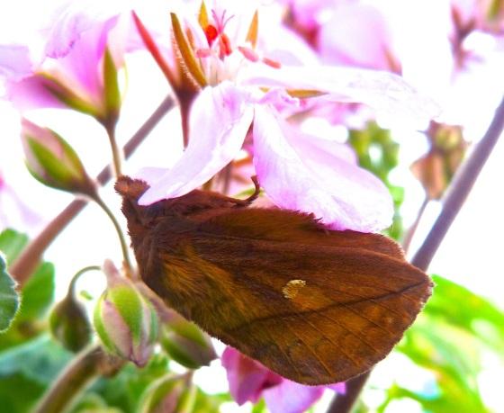 Drinker Moth Euthrix potatoria 9