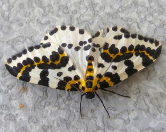 Magpie Moth 1