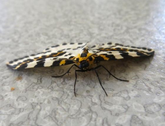 Magpie Moth 2