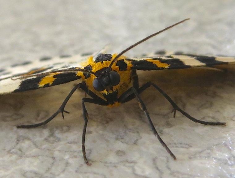 Magpie Moth 3