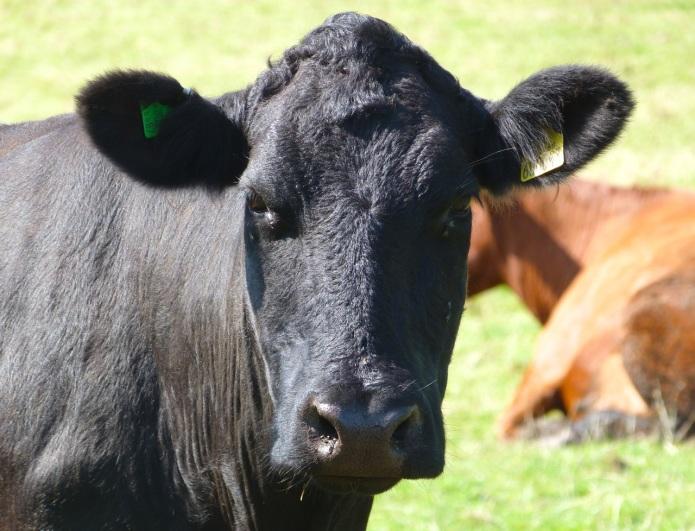 Cattle on Dartmoor 4