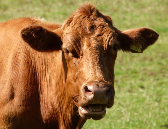 Cattle on Dartmoor 5