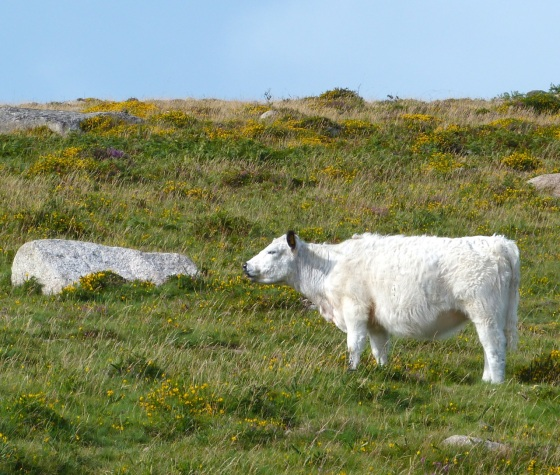 Cattle on Dartmoor 6