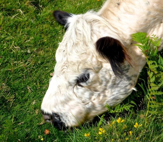 Cattle on Dartmoor 7