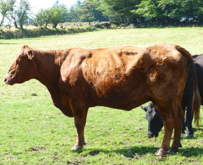 Cattle on Dartmoor