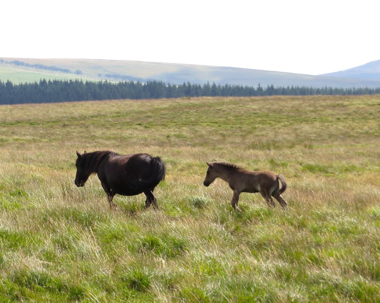 DARTMOOR PONIES & FOALS | ROLLING HARBOUR GALLERY: https://rollingharbourlife.wordpress.com/2013/09/17/dartmoor-ponies...