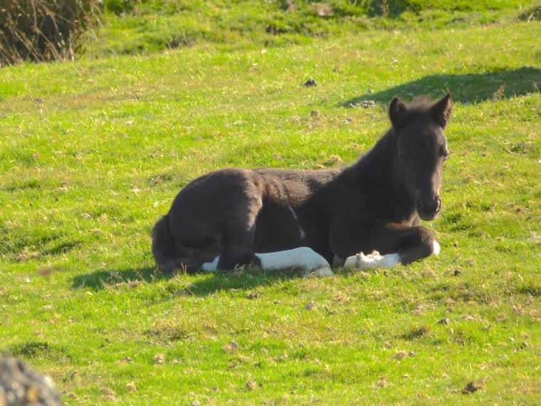 Dartmoor Ponies 10