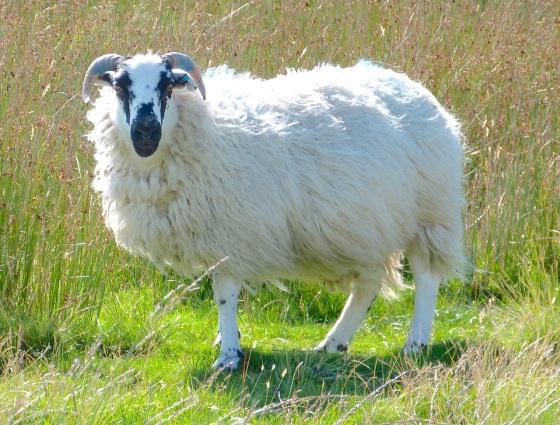 Dartmoor Sheep 1