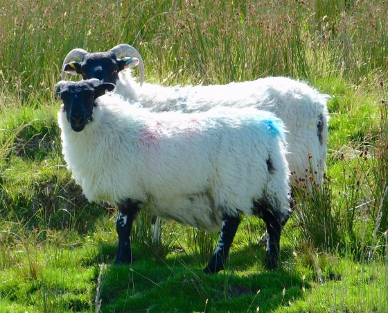 Dartmoor Sheep 2