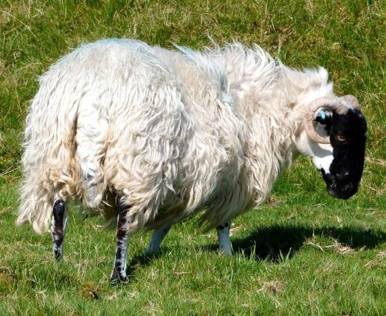 Dartmoor Sheep 3