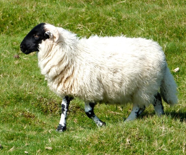 Dartmoor Sheep 4