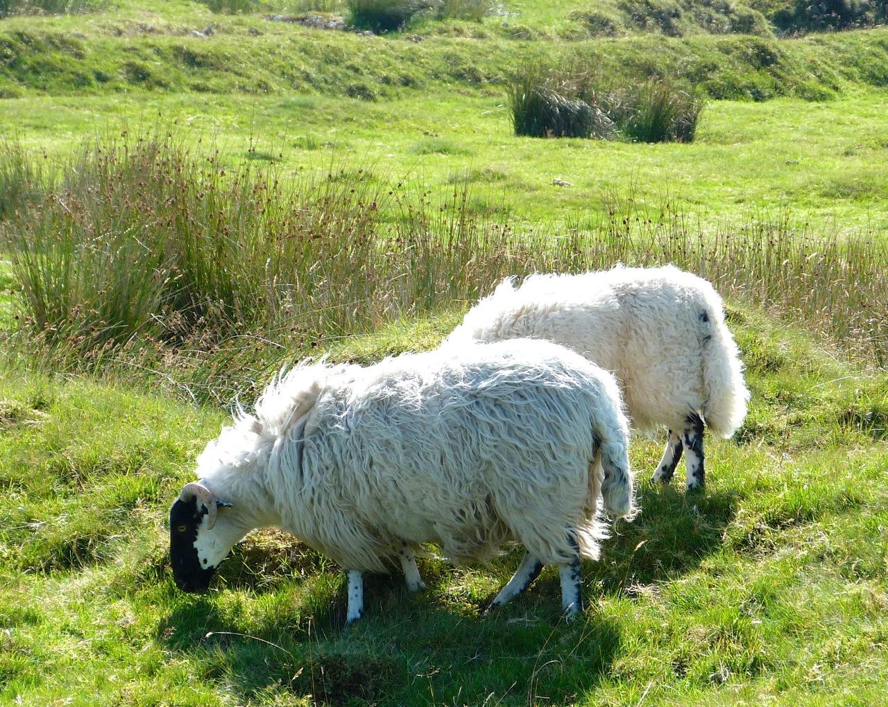 SHEEP ON DARTMOOR | ROLLING HARBOUR GALLERY: rollingharbourlife.wordpress.com/2013/09/25/sheep-on-dartmoor