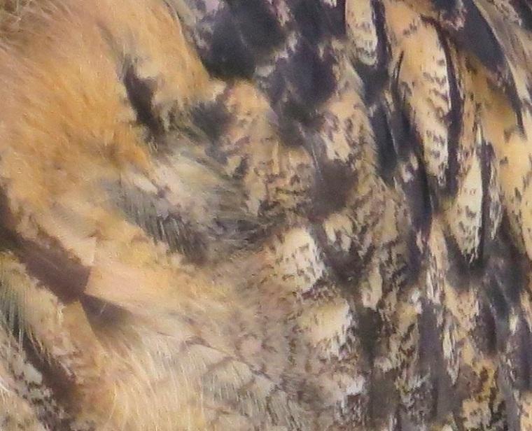Eagle Owl 5