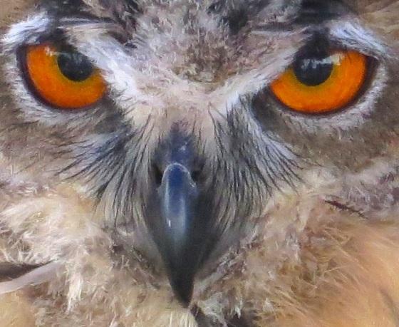 Eagle Owl 7