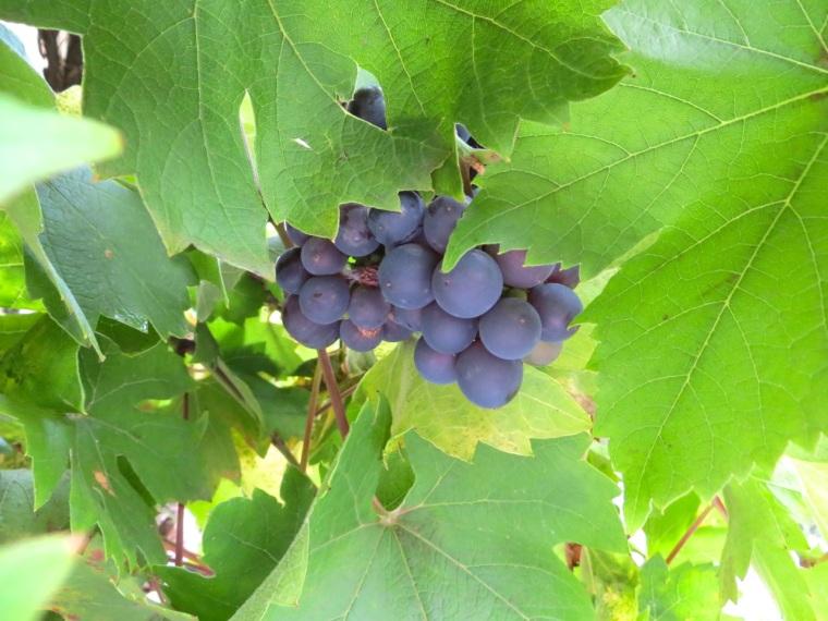 Grape Harvest, London 10