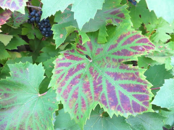 Grape Harvest, London 12