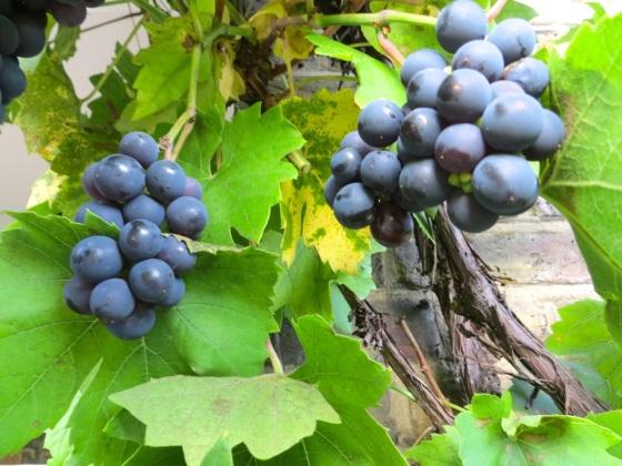 Grape Harvest, London 13