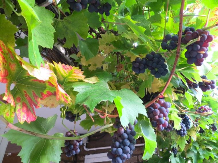 Grape Harvest, London 2
