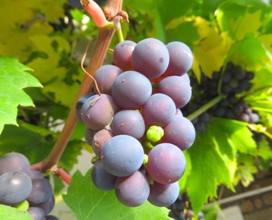 Grape Harvest, London 3