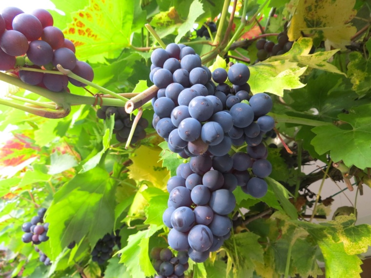 Grape Harvest, London 4