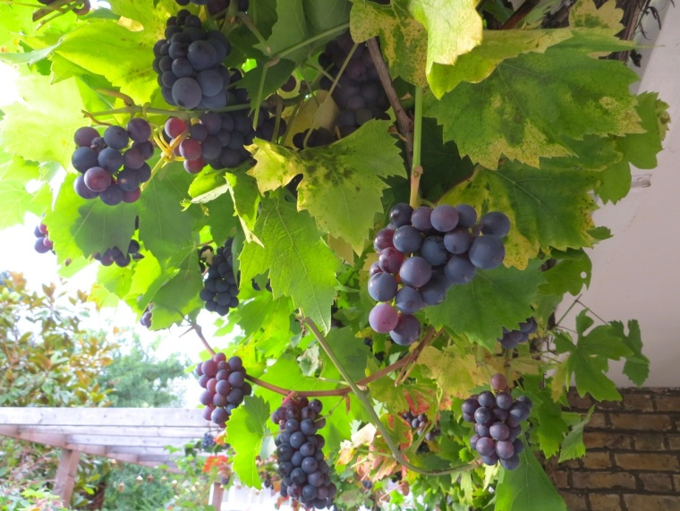 Grape Harvest, London 5