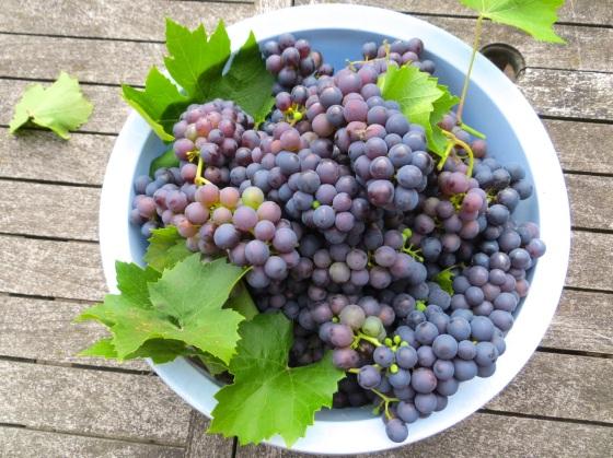 Grape Harvest, London 6