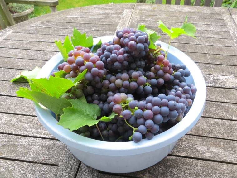 Grape Harvest, London 7