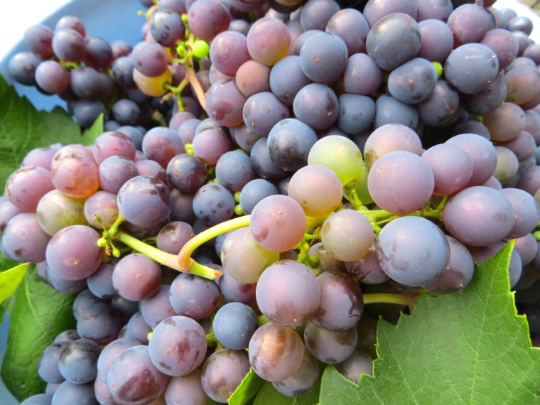 Grape Harvest, London 9