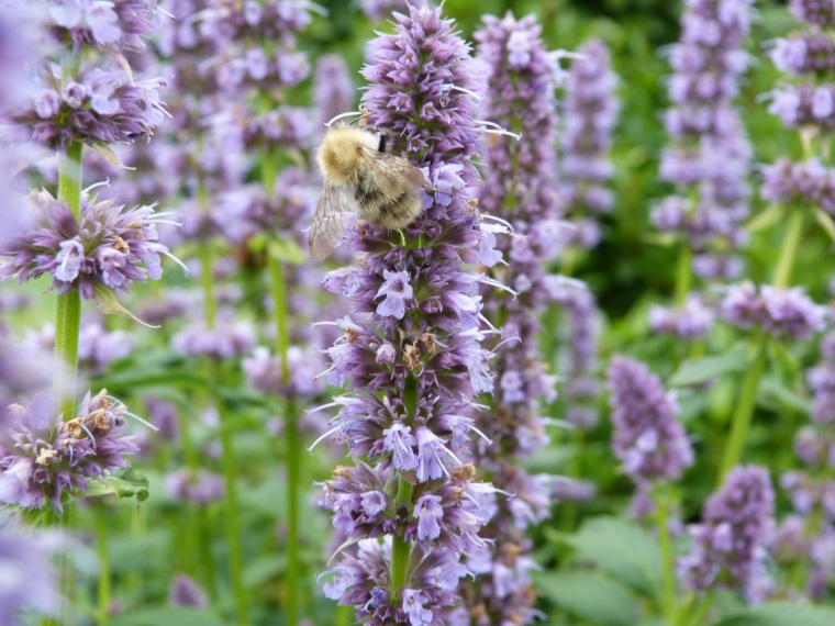 Hyssop with Bee, Dorset