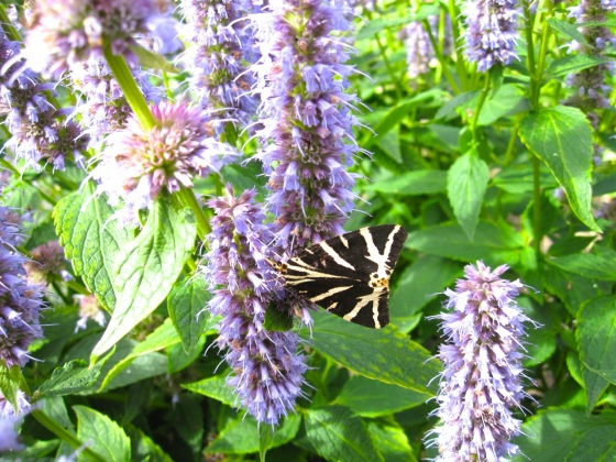 Jersey Tiger Moth Dorset 1