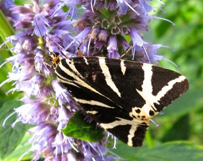 Jersey Tiger Moth Dorset 2