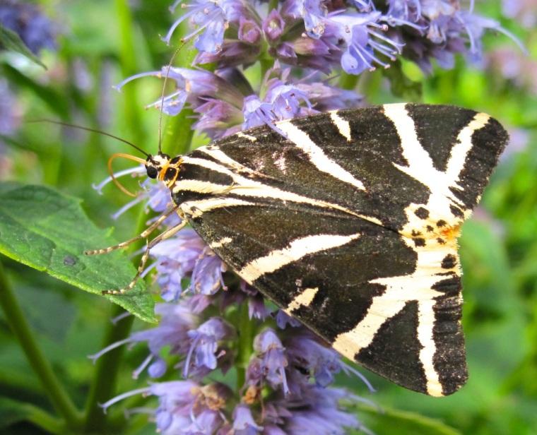 Jersey Tiger Moth Dorset 3