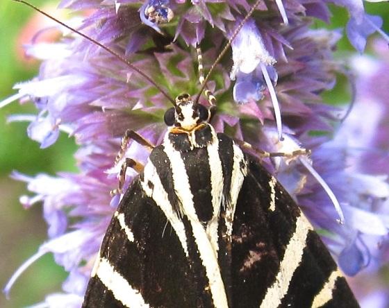 Jersey Tiger Moth Dorset 4