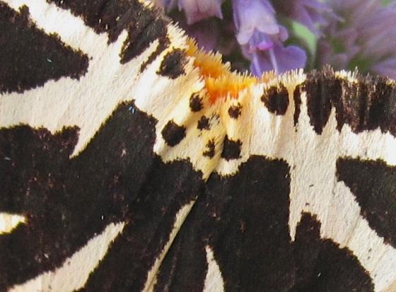 Jersey Tiger Moth Dorset 5