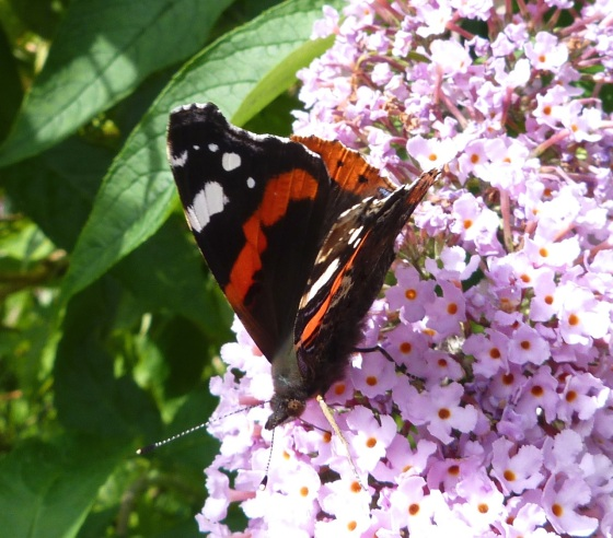 Red Admiral Butterfly on Buddleia, Dartmoor 1