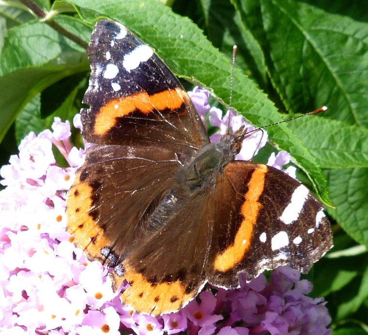 Red Admiral Butterfly on Buddleia, Dartmoor 2