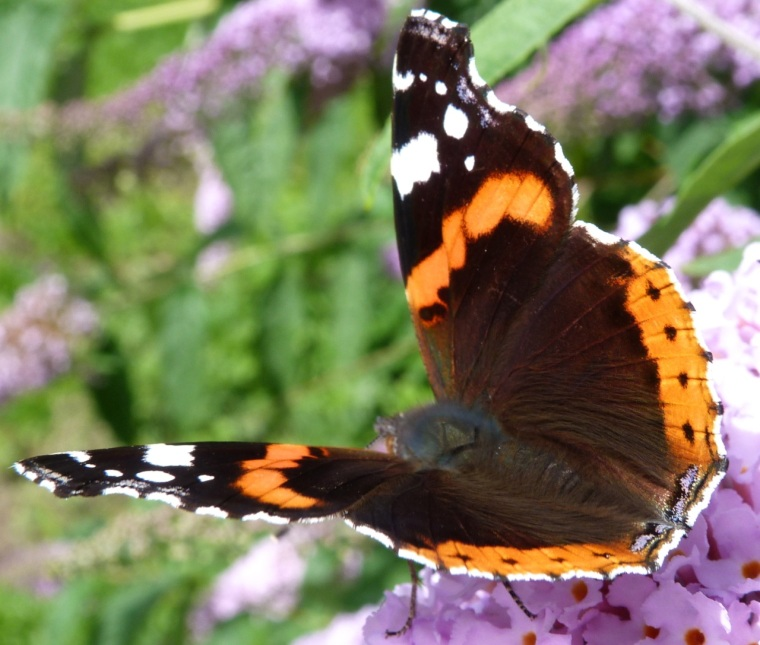 Red Admiral Butterfly on Buddleia, Dartmoor 4