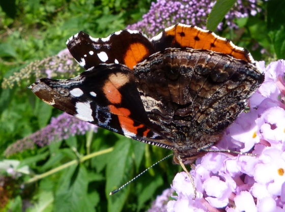 Red Admiral Butterfly on Buddleia, Dartmoor 5
