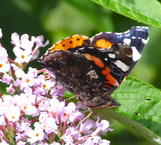 Red Admiral Butterfly on Buddleia, Dartmoor 6