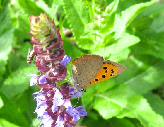Small Copper Butterfly, Dorset 1