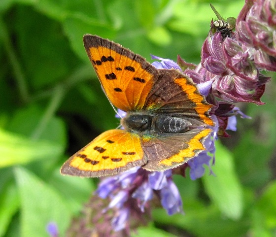 Small Copper Butterfly, Dorset 2