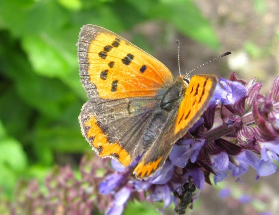 Small Copper Butterfly, Dorset 4