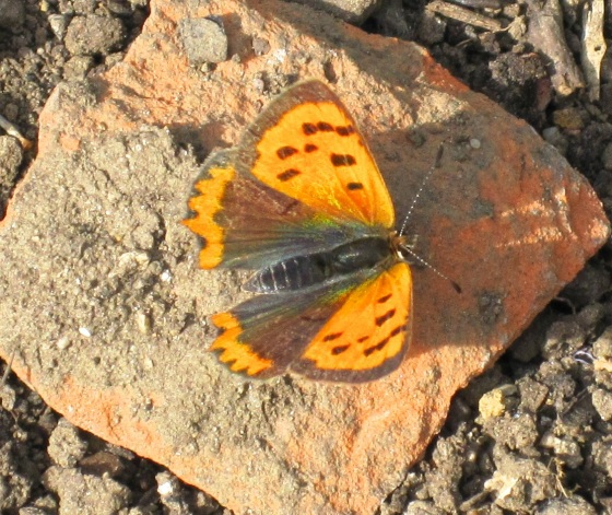 Small Copper Butterfly, Dorset 6