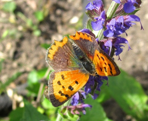 Small Copper Butterfly, Dorset 7