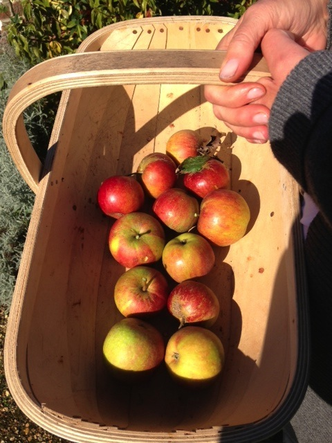 Cox Apples 2013 3