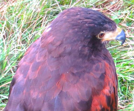 Harris's Hawk Dorset 1