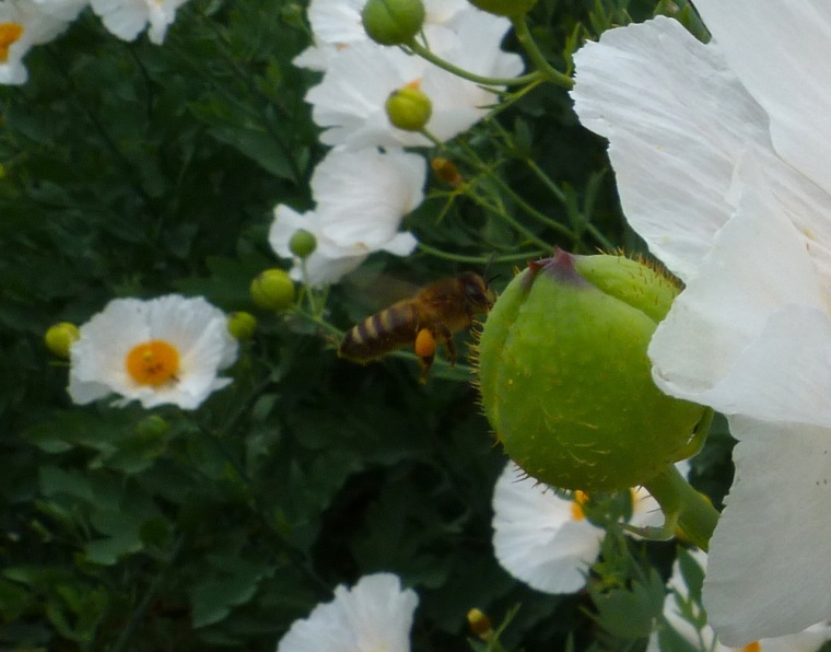 White Poppy with Bees 7